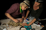 Black-footed Cat (Felis nigripes) veterinarian, Birgit Eggers, and biologist, Martina Kusters, cutting neck hair to draw blood during collaring, Benfontein Nature Reserve, South Africa