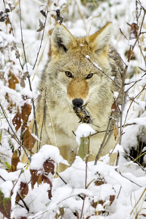 Coyote holding a vole that was just caught