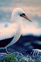 The masked booby is the largest of the booby family.