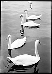 Swans on the Vltava river. The Vltava River divides the city into the East and Western bank. It's the longest Czech river and flows into the Elbe and then through to Germany and into the North Sea, Prague, Czech Republic.