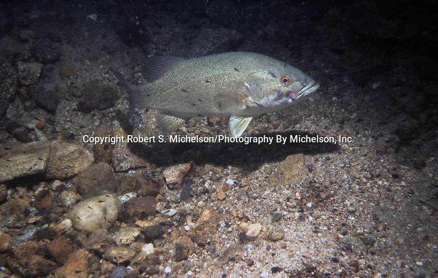 Smallmouth Bass guardian male with black fry