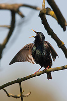 Star, singend, Balz, balzend, Balzgesang, Sturnus vulgaris, European starling