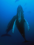 Photos of Humpback whales in Hawaiian waters.<br />