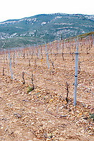 Mont Tauch Cave Cooperative co-operative In Tuchan. Fitou. Languedoc. Vines trained in Cordon royat pruning. Young vines. Terroir soil. France. Europe. Vineyard. Mountains in the background.