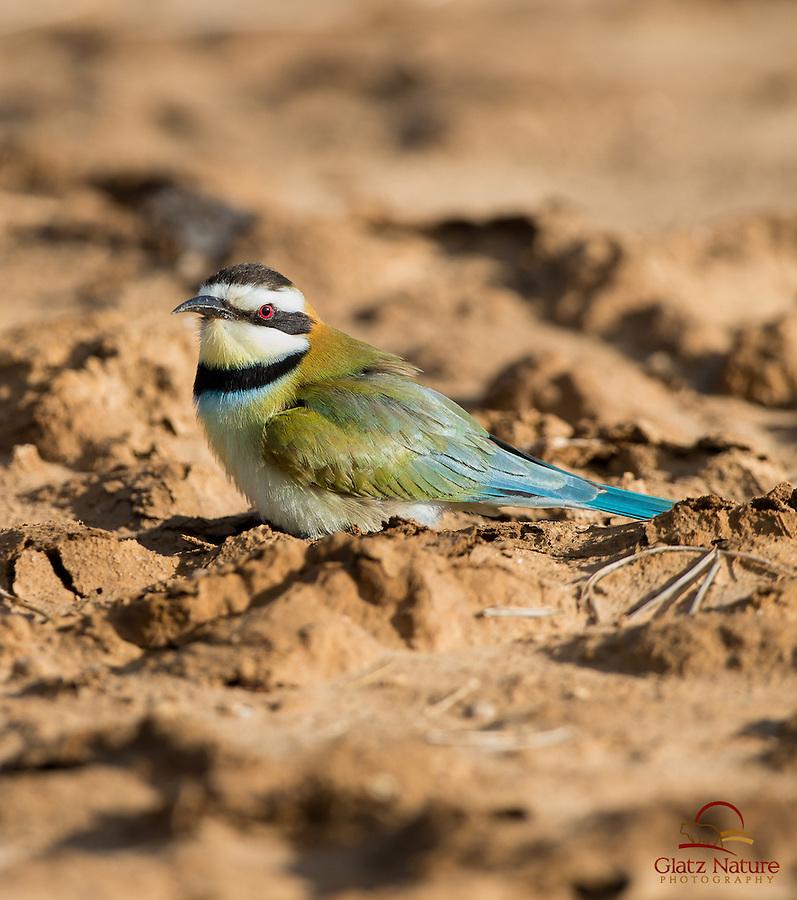 Bee-eater, Samburu