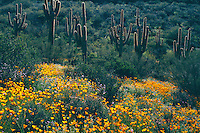 Mexican goldpoppy, Colter's lupine and saguaro<br /> Hewitt Canyon,  Forest Road 172<br /> Tonto National Forest<br /> Sonoran Desert,  Arizona