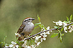 Chipping sparrow  Spizella passerina migratory song bird