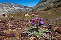 Pyrenean Thistle (Carduus carlinoides) in flower, Hautes-Pyrenees, Midi-Pyrenees,  Pyrenees, France. August.