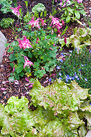 Pretty Lettuce vegetable with flowers of Aquilegia and Lithodora Grace Ward