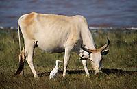Afrique/Afrique de l'Ouest/Sénégal/Env de Dakar : Lac Rose de Retba  - Vache en pâture et héron gardeboeuf