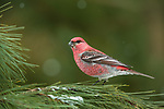 It appears that the pine grosbeaks have headed back north...a sure sign that spring is on its way.                                                                     ___________________________________________________________