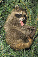 MA25-144z  Raccoon - young raccoon resting - Procyon lotor .