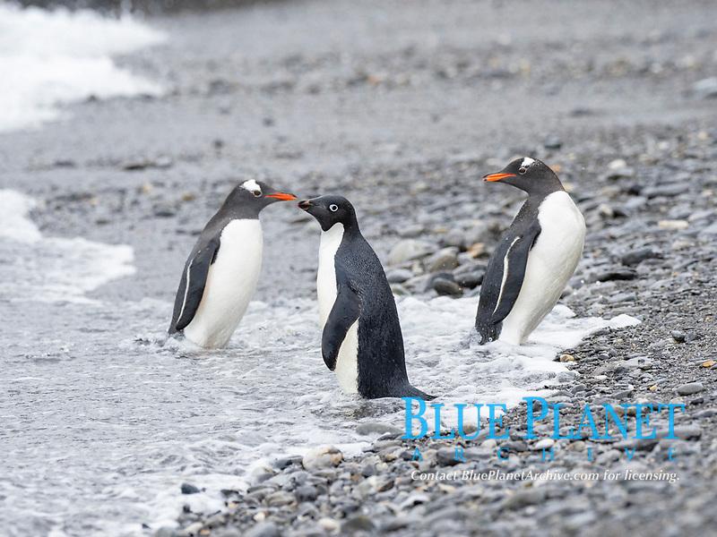 Adélie penguin, Pygoscelis adeliae, on the beach with gentoo penguin, Pygoscelis papua, Coronation Island, South Orkney Islands, Antarctica, Southern Ocean