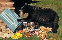 Black Bear raiding garbage outside home..Rocky Mountains. North America..(Ursus americanus).