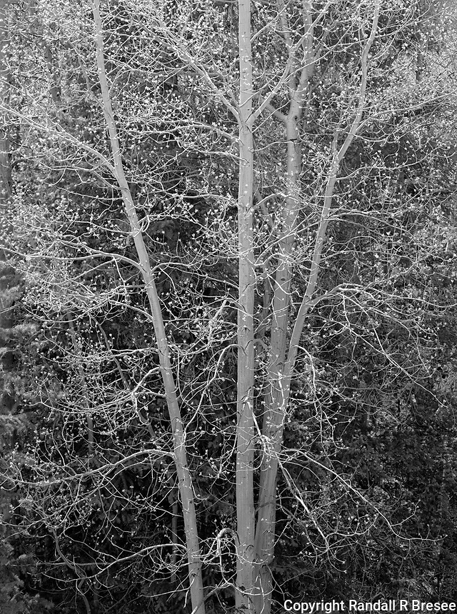"""""""Birch Tree"""" <br /> Silver Thread Scenic Byway, Colorado<br /> <br /> While driving on Colorado's Silver Thread Scenic Byway, birch trees looked quite rich in the afternoon sun. This photograph shows the delicacy of the trees. A large, high resolution print of this image looks considerably better than the tiny web image displayed here since small image areas of bright sunlit branches are key for depicting the delicacy of the tree."""