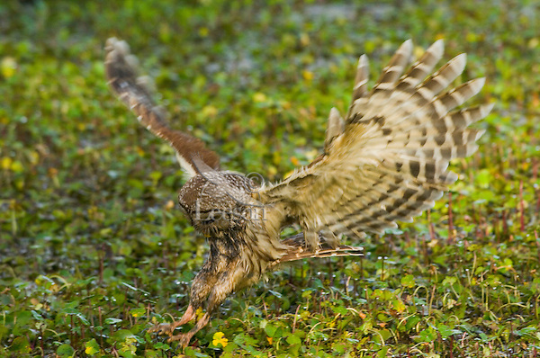 Barred Owl attempting to catch a crayfish (crawfish) in a southern swamp.  LA..