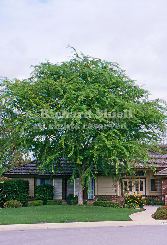 11787-CD Chinese Evergreen Elm, Ulmus parvifolia `Brea', lawn tree in front yard, family Ulmaceae, at Bakersfield, CA USA