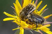 Rosenkäfer, Tropinota squalida, Hairy rose beetle, Cétoine hérissée, Kroatien, Croatia