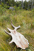 Moose antler deep in the Pemigewasset Wilderness in the White Mountains, New Hampshire USA during the summer months.