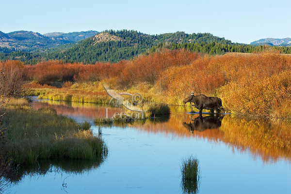 Cow Moose (Alces alces) by old beaver pond, Western U.S., fall.
