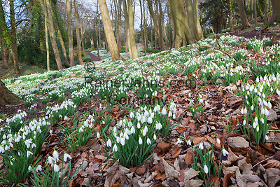 Great Britain, England, Gloucestershire, Cotswolds, Painswick: Snowdrops in woodland at the Rococo Garden | Grossbritannien, England, Gloucestershire, Cotswolds, Painswick: Schneegloeckchen im Rococo Garden