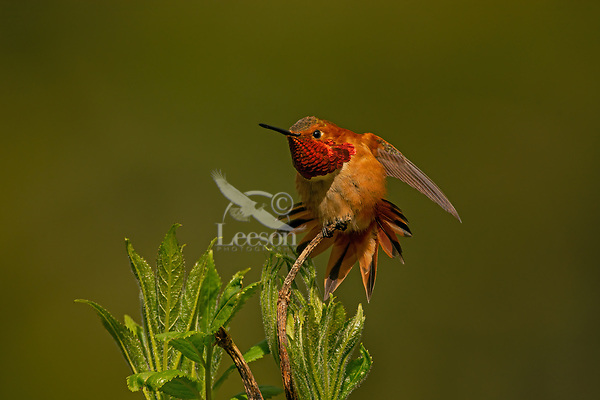 Male Rufous Hummingbird (Selasphorus rufus) displaying iridescence gorget while stretching.  Western Washington.  April.