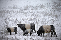 18/11/16<br /> <br /> Belted Galloway cattle brave the freezing conditions.<br /> <br /> Heavy snowfall turns the Peak District near Castleton into a winter wonderland.<br /> All Rights Reserved F Stop Press Ltd. (0)1773 550665   www.fstoppress.com