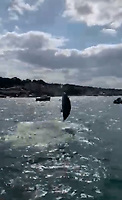 BNPS.co.uk (01202 558833)<br /> Pic: PhilipPalmer/BNPS<br /> <br /> Video download link: https://we.tl/t-v61YROkoPF.<br /> <br /> Pictured: A dolphin leaping out of the water.<br /> <br /> This is the amazing moment two dolphins put on an acrobatics display for thrilled revellers in a British bay.<br /> <br /> The friendly mammals chased after a power boat and then leapt 6ft out of the water, crossing over each other, right next to it.<br /> <br /> The charming scene was captured during an outing in Swanage Bay, Dorset, by a local watersports activity company.<br /> <br /> Phil Palmer, 38, of Pierhead Watersports, said the dolphins followed their boat, which was towing a rubber ring, all day.