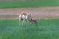 Pronghorn Antelope (Antiloapra americana) doe with very young fawn (born in the last 1/2 hour--note birth blood on doe and wetness of fawn).  Western U.S., June.