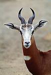 Dama gazelle, Sahara Desert, Africa