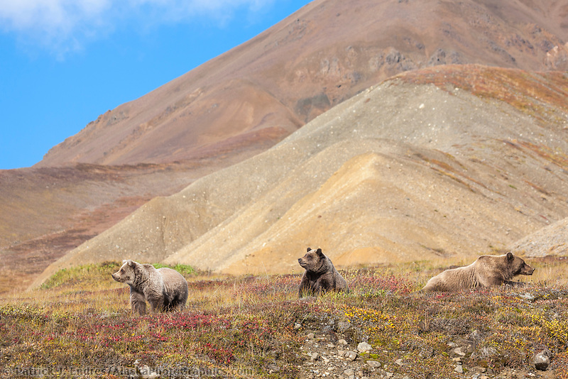 Grizzly bears in the autumn tundra in Highway pass, Denali National Park.