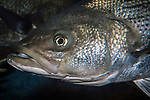 striped bass, close-up of face
