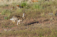 White-tailed jackrabbit (Lepus townsendii).  Montana.  June.
