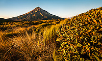 Sunrise over Taranaki with field of alpine plants, Mt. Egmont, Egmont National Park, North Island, New Zealand, NZ