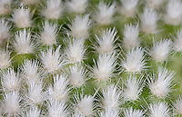 """1202-0848  Whitespine Pricklypear, Detail of White Spiny Bristles Called Glochids, Opuntia microdasys """"Albispina""""  © David Kuhn/Dwight Kuhn Photography"""