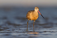 Adult Marbled Godwit (Limosa fedoa) foraging in shallow water on shore of a barrier island. Terrebonne Parish, Louisiana. October.