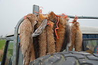 Fox tails tied to the back of a Landrover after the foxes had been shot, Derbyshire.