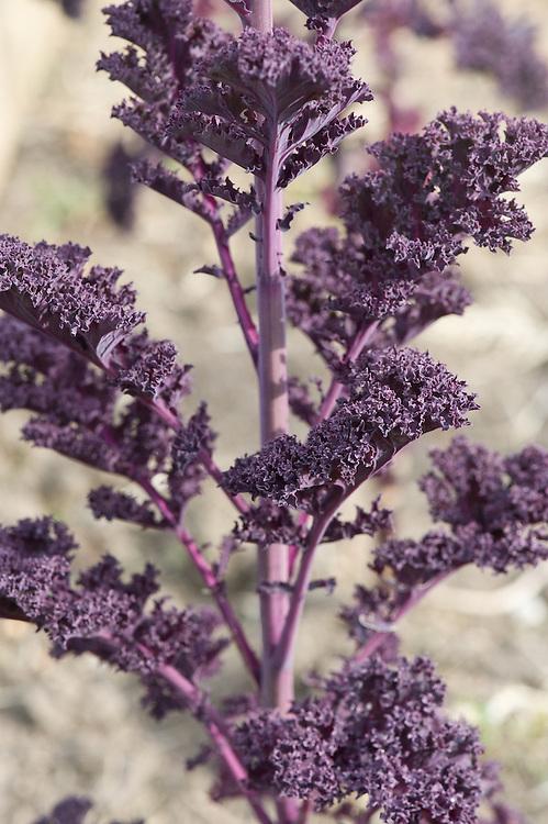 Kale 'Redbor' going into flower, allotment, end April.