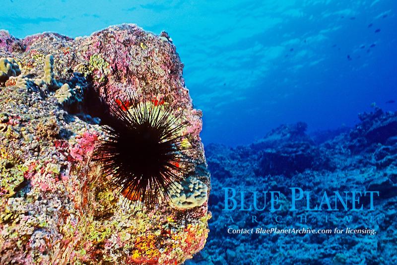 Long-spined sea urchin, Diadema paucispinum, venomous, Kona Coast, Big Island, Hawaii, Pacific Ocean