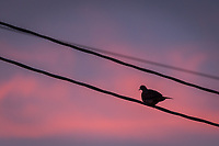 A mourning dove perched on telephone wires watching sunset on a summer evening.