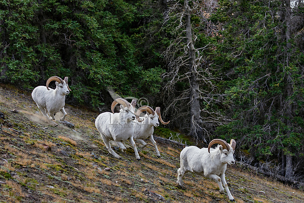Dall sheep or Thinhorn sheep rams (Ovis dalli) running, Kluane National Park and Reserve, Yukon Territory. Sept.
