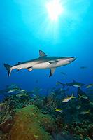 Caribbean reef sharks, Carcharhinus perezii, over coral reef, West End, Grand Bahamas, Atlantic Ocean
