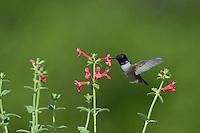 Black-chinned Hummingbird (Archilochus alexandri), adult male feeding on blooming Scarlet betony (Stachys coccinea), Hill Country, Texas, USA