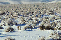 Male Sage Grouse strutting on lek during early spring mating season.  Western U.S.