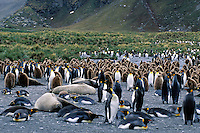King Penguins.Aptenodytes patagonicus.South Georgia Island.Antarctica.