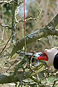 Remove any new shoots growing straight up into the centre of the tree.