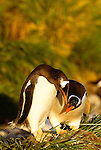 Gentoo penguins are distinguishable by the wide white stripe which extends like a bonnet across the top of their heads. Gentoo penguins feed mainly on crustaceans such as krill, although fish makes up about 15% of the diet, Falkland Islands, UK.
