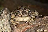 0602-0909  Fowler's Toad, Anaxyrus fowleri [syn: Bufo fowleri (Bufo woodhousii fowleri)]  © David Kuhn/Dwight Kuhn Photography