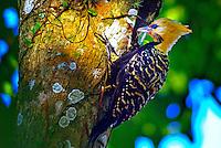 Animais. Aves. Pica-pau de cabeça amarela ( Celeus flavescens). Foto de Silvio Dutra.