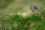 Alpine marmot (Marmota marmota) outside its burrow. Austrian Alps, Austria, Nordtirol, 2000 metres altitude, July.